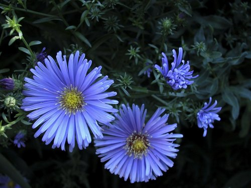 Planter et entretenir ses asters