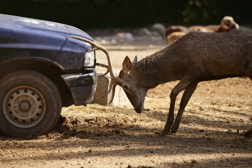 Accident de voiture avec un animal