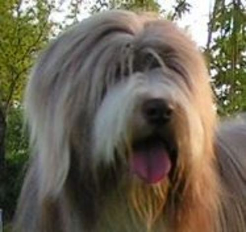 Comment bien s'occuper d'un Bearded collie ?