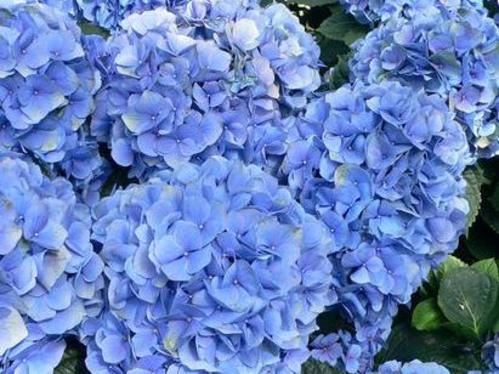 Comment planter un hortensia ?