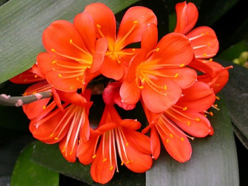 Comment transplanter le Clivia ?