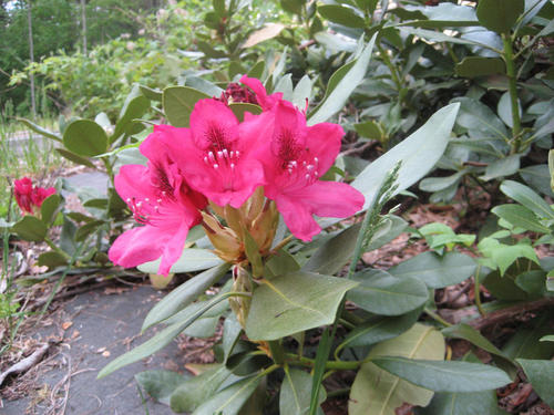 Comment tuer les rhododendrons ?